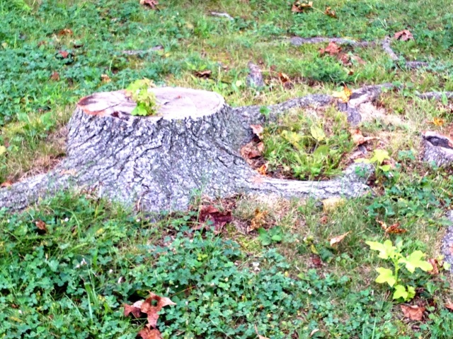 Indomitable Maple Tree Sprouts in Stump and from Roots (Defying Those Who Want to Do Away With It)